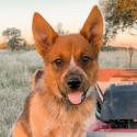 Winnie the Cattle Dog