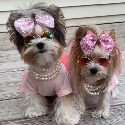 People looking for Isabella Devoto also looked at Sammie N Maddie Parti-Yorkies
